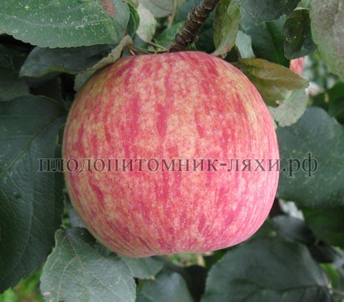 коричное полосатое сорт яблок фото